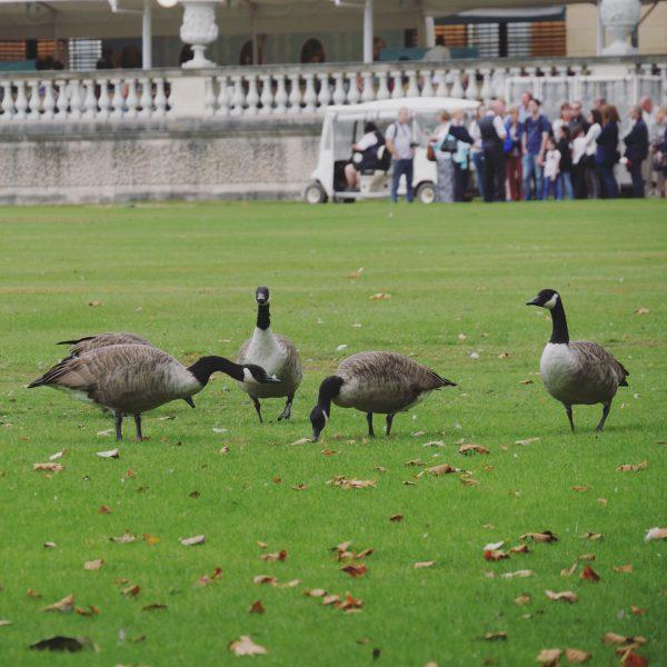 Royal Geese