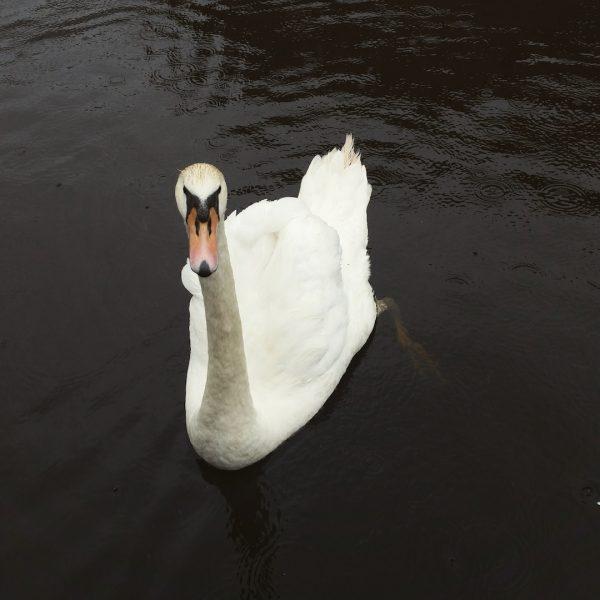 Alsterschwan